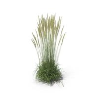 Calamagrostis X Acutiflora 'Karl Foerster' Grass Set PNG & PSD Images