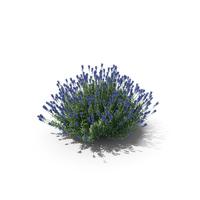 True Lavender Plant PNG & PSD Images