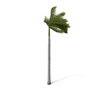 Palm Royal with Strong Wind PNG & PSD Images