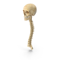 Human Spine Bones Male Skull and Jaw Anatomy With Intervertibral Disks 01 PNG & PSD Images