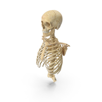 Human Rib Cage Spine Female Skull Clavicle and Scapula Bones Anatomy PNG & PSD Images