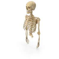 Human Rib Cage Spine Female Skull Clavicle Scapula and Arms Bones Anatomy PNG & PSD Images