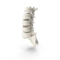 Human Lumbar and Sacrum Vertebrae L1 to S5 Bones White PNG & PSD Images