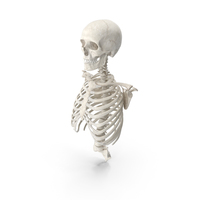 Human Rib Cage Spine Male Skull Calvicle and Scapula Bones Anatomy PNG & PSD Images
