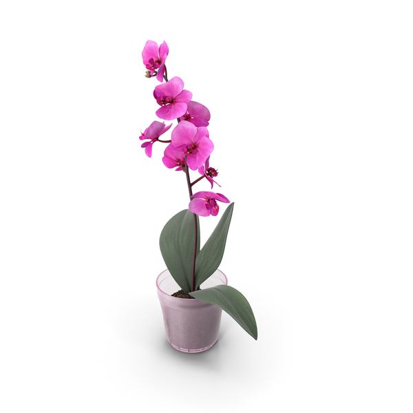 Flower Orchid Rose PNG & PSD Images