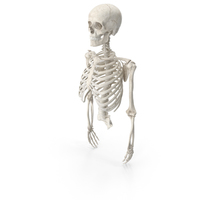 Human Rib Cage Spine Female Skull Clavicle Scapula and Arms With Disks White PNG & PSD Images