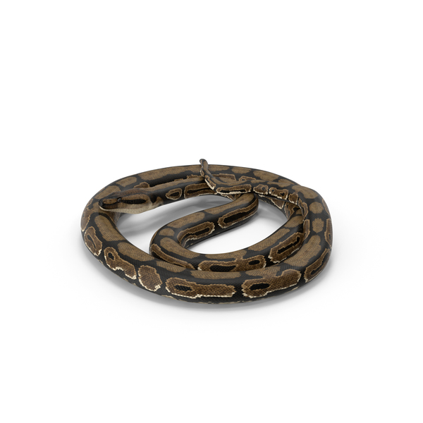 Brown Python Snake Curled Pose PNG & PSD Images