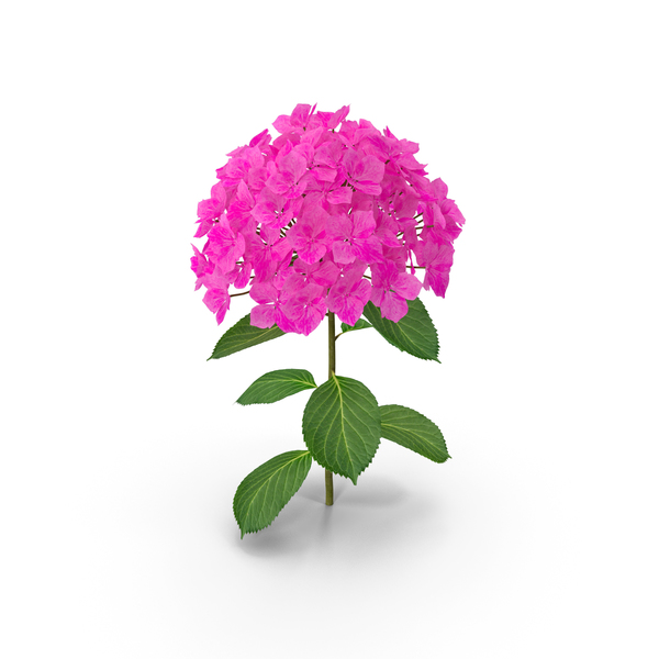 Branch of Hydrangea Macrophylla Pink Annabelle PNG & PSD Images