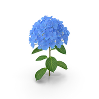 Branch of Hydrangea Macrophylla Nikko Blue PNG & PSD Images