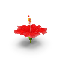Blooming Red Hibiscus Flower PNG & PSD Images