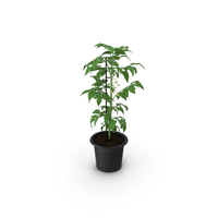 Tomato Plant Pot with Flowers Fur PNG & PSD Images