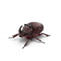 Oryctes Nasicornis Rhinoceros Beetle Standing PNG & PSD Images