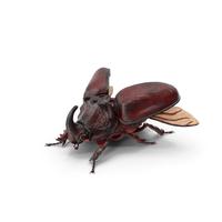 Oryctes Nasicornis Rhinoceros Beetle PNG & PSD Images