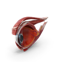 Cross-Section of the Human Eye Right Part PNG & PSD Images