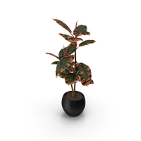 Rubber Tree Ruby in Pot PNG & PSD Images