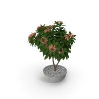 Flower Pot Plumeria Pink PNG & PSD Images