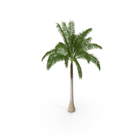 Roystonea Regia Cuban Royal Palm PNG & PSD Images
