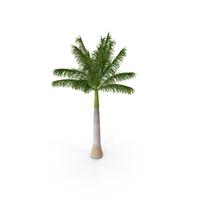 Roystonea Regia Palm PNG & PSD Images