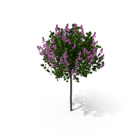 Korean Lilac PNG & PSD Images