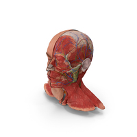 Anatomical Male Head Model with Neck PNG & PSD Images