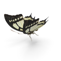 Butterfly Papilio Multicaudata PNG & PSD Images