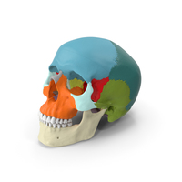 Human Skull - Didactic Version PNG & PSD Images