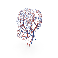 Human Head Cardiovascular System PNG & PSD Images