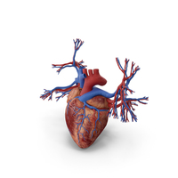Human Heart and Bronchi PNG & PSD Images