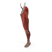 Male Leg Full Anatomy PNG & PSD Images