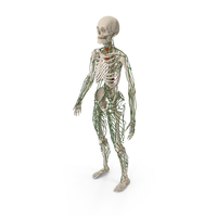Male Skeleton and Lymphatic System PNG & PSD Images
