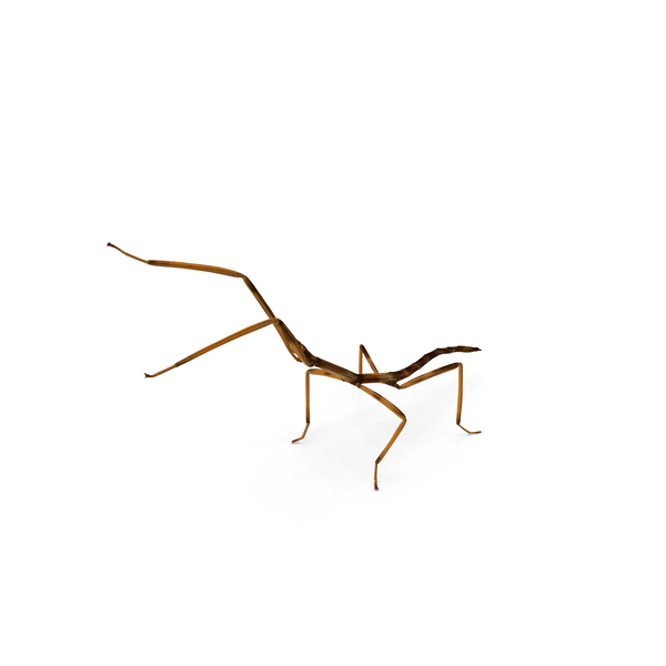 Stick Insect Brown Attack Pose PNG & PSD Images