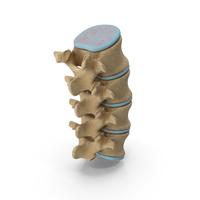 Lumbar Spinal Cord Column Backbone PNG & PSD Images