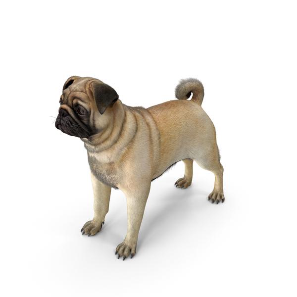 Pug Dog Neutral Pose Fur PNG & PSD Images