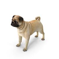 Pug Dog Neutral Pose PNG & PSD Images