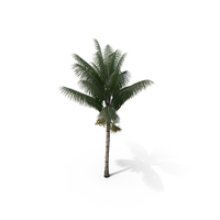 Palm Tree Acanthophoenix Crinita PNG & PSD Images