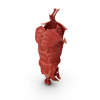Human Torso Muscular System PNG & PSD Images