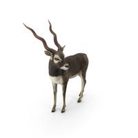 Blackbuck Antelope PNG & PSD Images