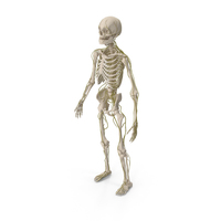 Male Skeleton and Nervous System PNG & PSD Images