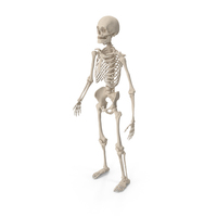 Male Skeleton Full Body PNG & PSD Images