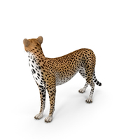 Cheetah Looking Around PNG & PSD Images