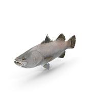 Barramundi or Lates Calcarifer Fish PNG & PSD Images