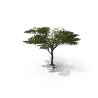 Acacia PNG & PSD Images