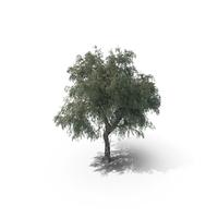 Ghaf Tree PNG & PSD Images