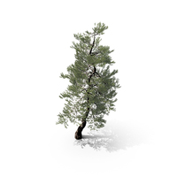Japanese Red Pine Tree PNG & PSD Images