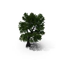 Oak Tree PNG & PSD Images