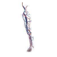 Human Leg Cardiovascular System PNG & PSD Images