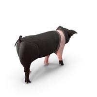Hampshire Pig Piglet Walking Pose PNG & PSD Images