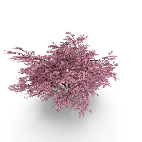 Japanese Sakura PNG & PSD Images