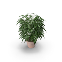 Indoor Potted Ganja Plant PNG & PSD Images