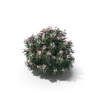 Pink Oleander Bush PNG & PSD Images